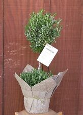 Rosemary Topiary/live plant, indoor, outdoor, patio and herb
