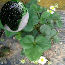 50 pcs Indoor Plants Black Strawberry Tree Seeds Fruit Garden Bonsai Home
