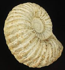 Ammonite Spiral Shell Fossil Sea Creature 2lbs/910 grams Free shipping