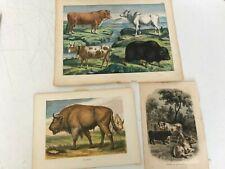 VINTAGE LOT 3 COLOR LITHOGRAPHS CATTLE STEER COW BREEDS BRAHMA  AUROCH ART PRINT