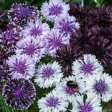 Cornflower - Classic Magic - 100 Seeds