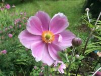 3 x Anemone Japonica Pink 3 bare root plants Hardy perennial