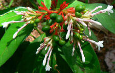 Rauvolfia serpentina | Indian Snakeroot | Devil Pepper | 5_Seeds