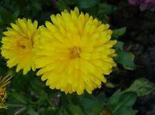 Calendula Pot Marigold (Calendula Officinalis) Golden Emperor - 50 seeds