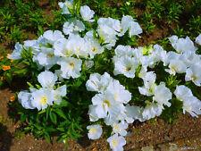 GODETIA GRANDIFLORA WHITE - 2000 seeds - AZALEAFLORA - Annual flower