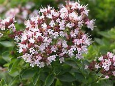 300 Graines Thymus Vulgaris L. Thym commun, Barigoule , Common Thyme seeds