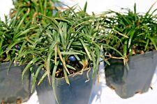 Convallaria Japonica nana, pianta tappezzante in vaso 7cm ben accestita