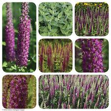 Kaukasus Gamander | beste Bienenweide | 800 Korn Saatgut | Teucrium hircanicum