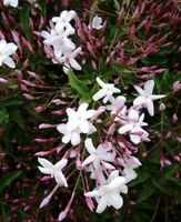 Star Jasmine Eight Cuttings To Start Plants *Fragrant