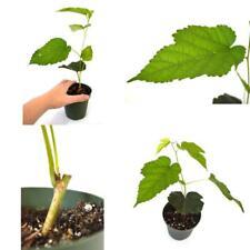 "Dwarf Black Mulberry 4""Pot Fruits Live Plant Tree Outdoor Garden Best Gift NEW"