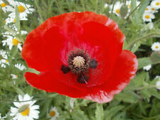 Papaver rhoeas Red Field Poppy Approx 30,000 seeds Free P & P - Annuals