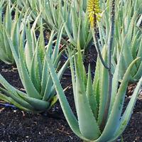 "Large Mature Aloe Vera Barbadensis Medicinal Cactus Succulent Plant Organic 12""+"