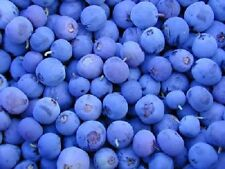50 NORTHERN HIGHBUSH BLUEBERRY BUSH Fruit Seeds Pre Stratified + Gift & Comb S/H