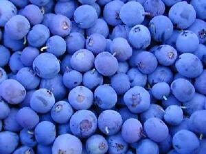 50 NORTHERN HIGHBUSH BLUEBERRY BUSH Fruit Berry Shrub Seeds  *Flat S/H