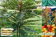 5 Seeds tongkat ali Eurycoma longifolia or pasak bumi Very RARE Herb seeds