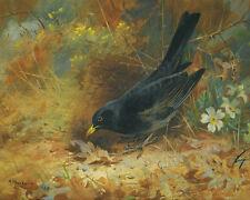 Blackbird Archibald Thorburn  24'  CANVAS