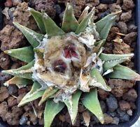 5 Ariocarpus agavoides X retusus SEMI SEEDS HYBRID ++++