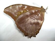 UNMOUNTED BUTTERFLY MORPHO TELEMACHUS EXSUSARION 1 PC.