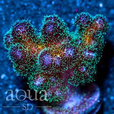 New listing Asd - 102 Viper Strike Stylo - Wysiwyg - Aqua Sd Live Coral Frag