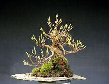 Bonsai outdoor winterhart Rhododendron H46 B73 D11 cm