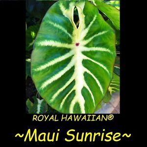 ~MAUI SUNRISE~ TARO Colocasia esculenta Elephant Ear Live starter sml PLANT
