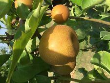5 Pear Trees.  INSTANT ORCHARD! 5 Premium Grafted Varieties: Kieffer, Bartlett..