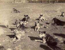Photo Abdullah Frères Albuminé Turquie Chiens des Rues Dog Vers 1870/80