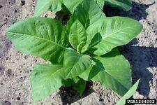 15 Semillas Nicotiana Tabacum (Tabaco de Virginia) Código 330