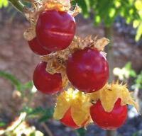 Ananasbeere Kapstachelbeere 10 Samen Physalis pruinosa Kübel süß Balkon,Topf
