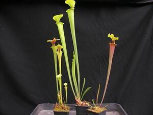 Carnivorous Sarracenia Pitcher Plant Pond Collection B