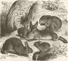 RABBITS. Rabbit 1894 old antique vintage print picture