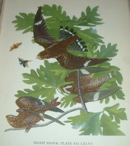 1936 The NIGHT HAWK (European nightjar) John James Audubon Print Plate Bird