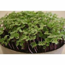Sprouting Seeds - Salad Rape - 5000 Seeds
