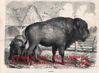 Bison American Buffalo on Farm, 1870s Antique Engraving Print