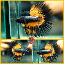 New listing Live Betta Fish Male Fancy Orange Wasp Crowntail #E1053