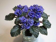 African Violet Ness' Crinkle Blue (Sm) - Starter Plant Budding