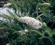 1 Buddleia White Bouquet Butterfly Bush Shrub Jumbo plug plant