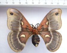 Hyalophora cecropia Aberration, USA   n113