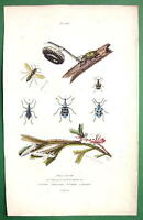 WASP Nest Beetles - 1836 H/C Color Natural History Print