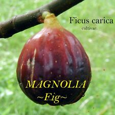 ~MAGNOLIA~ FIG Brunswick Hardy FRUIT TREE Ficus Carica Live sml Potd Plant