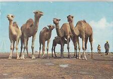 BF18767 la pose pour la photo camel types  tunisia  front/back image