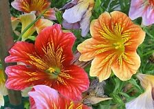250 Graines Salpiglossis Sinuata, 'Painted Tongue' seeds