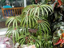 More details for begonia luxurians -  cane begonia plant potted into a 9cm pot exotic tropical