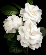 50pcs Jasmine Gardenia Seeds Light Fragrant White Color Bloom Five Petal Decor