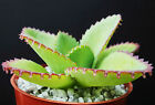 Mother of thousands Kalanchoe daigremontiana mexican hat plant rare succulent 4