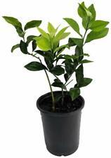 "Lemon Meyer Tree Fruiting Plant 8"" Pot Indoors Outdoor Garden Live Houseplant"