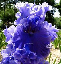 "Tall Bearded ""Sea Power"" Iris - Bubble Ruffles Highly Fragrant '99 * Pre-Sale"