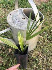 Trachycarpus princeps! Frost Hardy!*