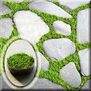 """1 Hypnum Sheet Shag Moss for Garden, Patio, Bonsai Live Plant 2.5"""" Pot"""