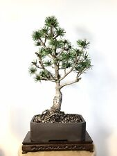 Black Pine Dwarf Bonsai Tree Large Trunk In Ceramic Pot